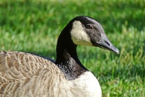 Richard Wiskin picture of Canadian goose